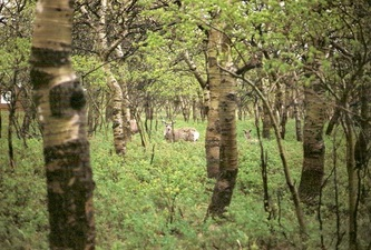 Deer in woods | Waterton Lakes National Park