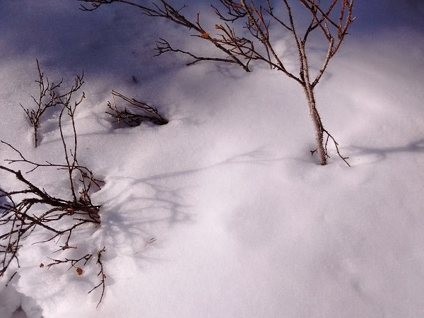 snowy shrubs