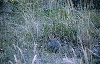 Cottontail, camouflage