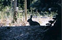 Cottontail, silhouette