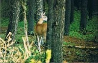 Doe | Cypress Hills Interprovincial Park