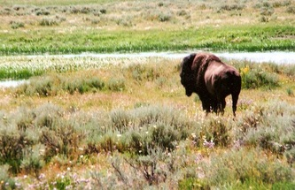 Bison | Yellowstone National Park