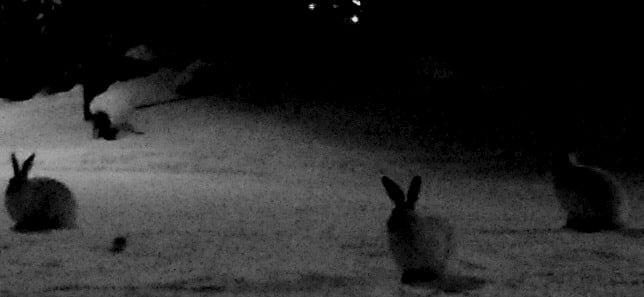 white winter solstice hares